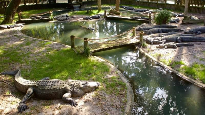 Ферма аллигаторов во Флориде