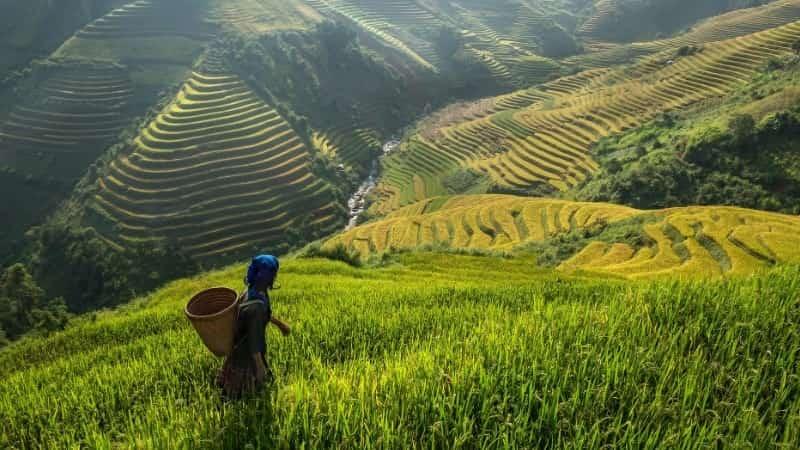 Вьетнам рисовые поля
